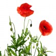 Red poppies — Stock Photo #5479799