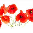 Red poppies — Stock Photo #5479802
