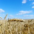 Golden wheat — Stock Photo #5479819
