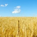 Wheat on sky — Stock Photo #5578276