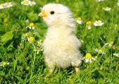 Chicken — Stok fotoğraf