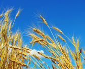 Wheat on sky — Stock Photo