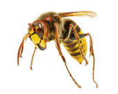 Hornet — Stock Photo