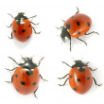 Ladybug — Stock Photo #5840356