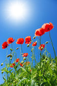 Poppies in sunny day — Foto Stock