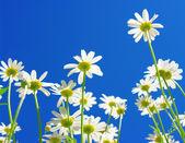 Daisies on blue sky — Stock Photo