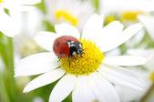 Lieveheersbeestje — Stockfoto