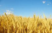 Wheat on sky — Stock Photo
