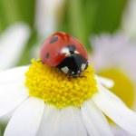 Ladybug — Stock Photo #6266948