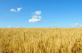 Wheat on sky — Foto Stock