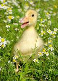 Anka i gräset — Stockfoto