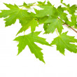 Maple green leaves — Foto Stock