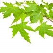Maple green leaves — Photo