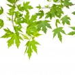 Maple green leaves — Stock Photo