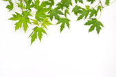 Maple green leaves — Stockfoto