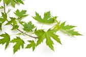 Green leaves — Foto Stock