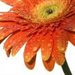 Gerbera — Stock Photo #5458246