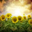 Sunflowers — Stock Photo #5459118
