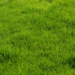 Green texture of grass — Stock Photo