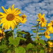 Stock Photo: Sunflowers over cloudy blue sky