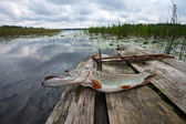 Crude, fresh fish (pike) — Stock Photo