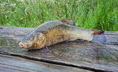 Tench. A fish close up — Stock Photo