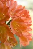 Цветы Кливии — Stok fotoğraf