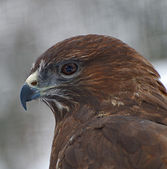 Eagle close up — Stock Photo