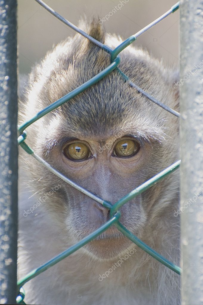 Monkey with sad eyes behind bars Zoo — Stock Photo #5521173