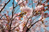 Pink cherry blossom — Stock Photo