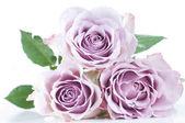 Pastel shade roses — Stock Photo