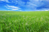 Młoda pszenica i błękitne niebo — Zdjęcie stockowe