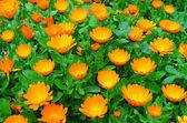 Calendula çiçekler — Stok fotoğraf
