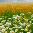 Camomile, wheaten field and the storm sky — Stock Photo
