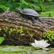 Terrapin on a river — Stock Photo