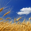 Wheaten field — Stock Photo #6249503