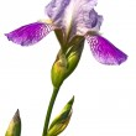 The beautiful bearded iris isolated on white — Stock Photo