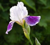 Bliska kwitnący iris — Zdjęcie stockowe