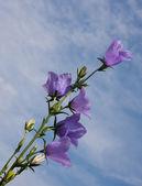 Campanula flower on blue sky background — Stock Photo