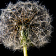 Dandelion Isolated - Stock Photo