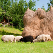 A flock of sheep grazing in the meadow — Stock Photo