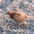 Stock Photo: Bird with orange plumage is on small stones