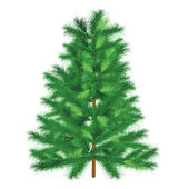 Evergreen tree fir tree — Stock Photo