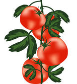 Ripe tomatoes on bush — Stock Vector
