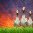 The Geese — Stock Photo