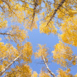 Yellow birches — Stock Photo #5670708