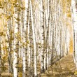 Stock Photo: Yellow birches