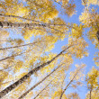 Yellow birches — Stock Photo #5670715