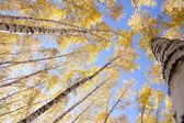 Yellow birches — Stock Photo