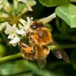 Stock Photo: Bee pollinating clover